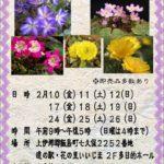 福寿草、雪割草展のお知らせ