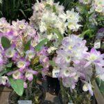 デンドロビウム、ヒヤシンスなどなどかわいいお花達入荷です。