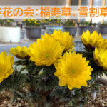 早春花の会開催中。かわいい福寿草が買えます。21日まで。