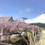 花の里いいじまの桜が綺麗です。