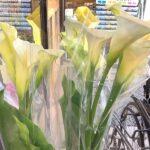 切り花//霧島八代草、シャクヤク、カラー、LAゆりなどなど